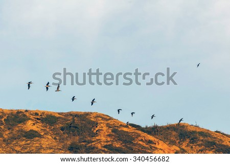 Free Pelicans, Large Bird Flying Above The Pacific Ocean, South America - stock photo