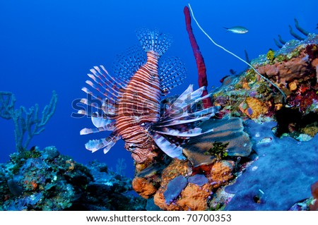 Free Swimming Lionfish on a Wall in Grand Cayman Caribbean - stock photo