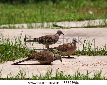 free tropical zebra doves walking on the floor in green environment of city park on a sunny day with natural background picking seeds and bird food grains on the floor - stock photo