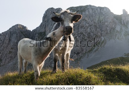 Freedom of the cows - stock photo