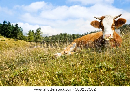 Freely grazing domestic and healthy cow on an idyllic sunny summer mountain pasture. Free range, organic cattle farming and agriculture concept.  - stock photo