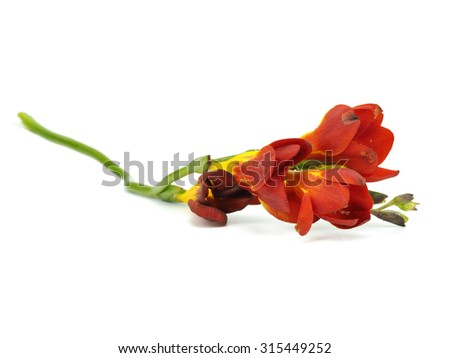Freesia flower on a white background