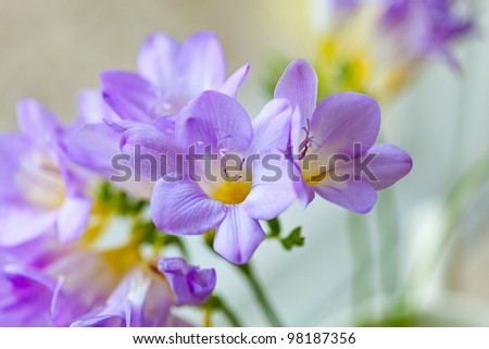 Freesia flowers - stock photo