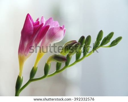 Freesia is a beautiful flower