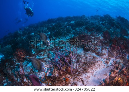 French angel fish and divers - stock photo