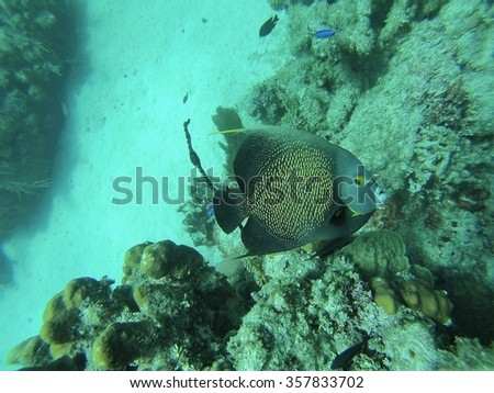 French angelfish above coral, with sandy bottom in the distance