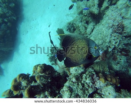 French angelfish on a reef off the coast of Utila, Honduras