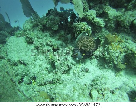 French angelfish (Pomacanthus paru) over a sandy bottom, in front of coral, off the coast of Utila