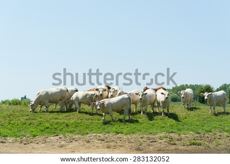 French brown and white Charolais cows in landscape - stock photo