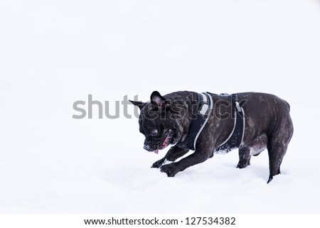 French buldog dog puppet play with white snow - stock photo