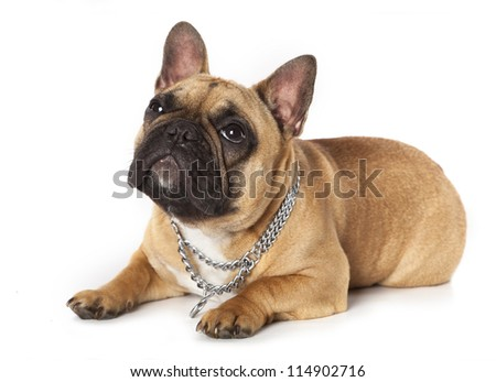 French Bulldog - stock photo