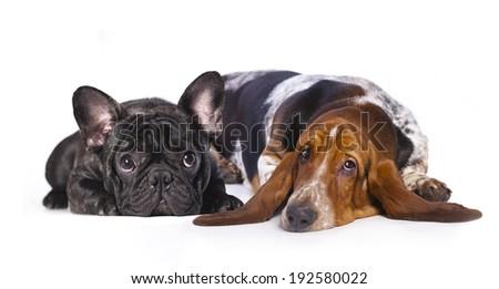 french bulldog and basset Hound - stock photo