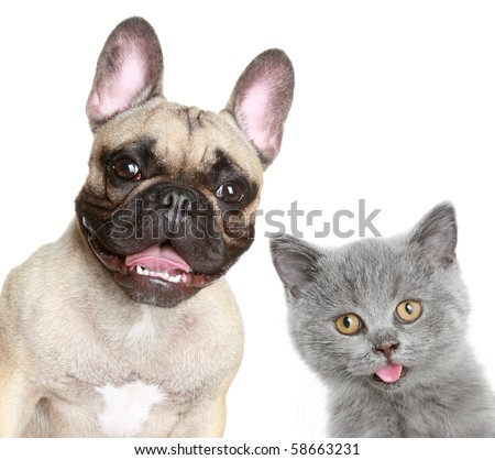 French bulldog and grey kitten on a white background
