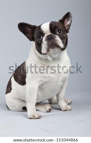 French bulldog black and white isolated against grey background. Studio portrait. - stock photo