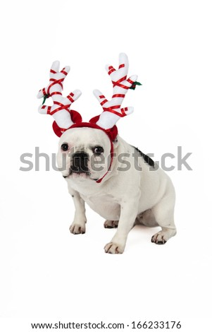 French bulldog Christmas - stock photo