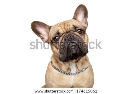 French bulldog close-up portrait, isolated over white background - stock photo