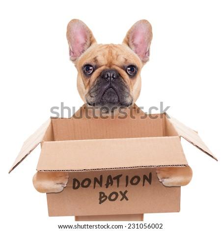 french bulldog dog holding a donation box, isolated on white background - stock photo