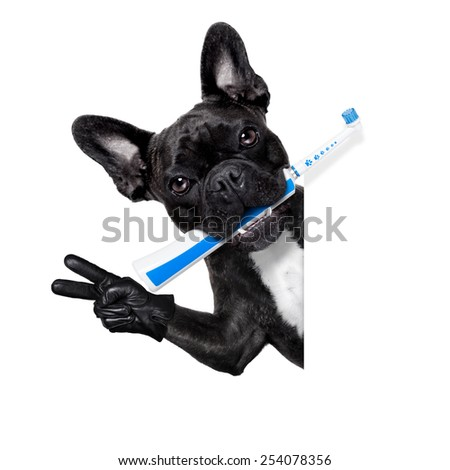french bulldog dog holding electric toothbrush with mouth , beside white blank banner or placard, isolated on white background - stock photo
