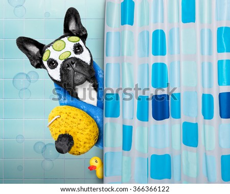 french bulldog dog in a bathtub not so amused about that , with yellow plastic duck and towel, behind shower curtain  ,face or  beauty mask with cucumber - stock photo