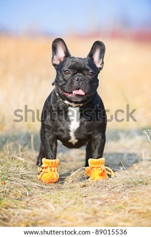 French Bulldog dog in baby booties - stock photo