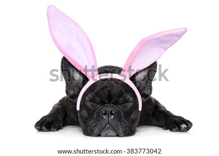 french bulldog dog sleeping on the ground with funny easter bunny ears, isolated on white background - stock photo