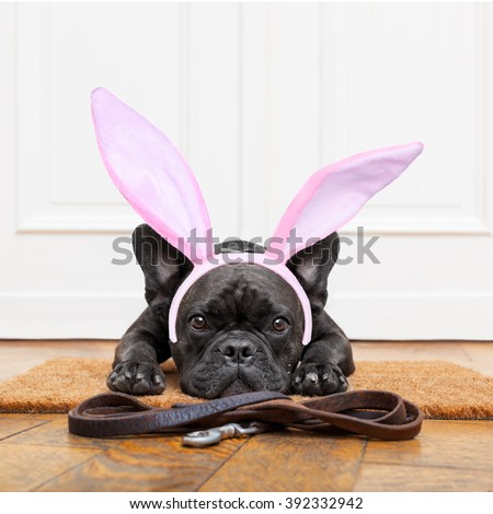 french bulldog dog waiting for go for a walk with owner , with easter bunny ears on head, leather leash on the floor - stock photo