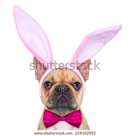 french bulldog dog  with bunny easter ears and a pink tie, as close up ,  isolated on white background - stock photo