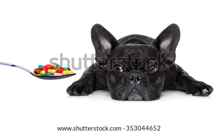 french bulldog dog  with  headache and sick , ill or with  high fever, suffering ,pills in a spoon,  isolated on white background - stock photo