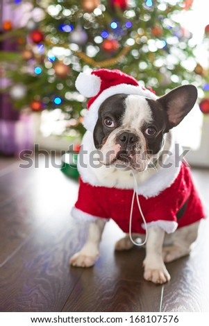 French bulldog dressed up in santa costume for Christmas - stock photo
