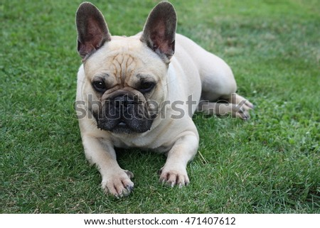 french bulldog for dog lovers
