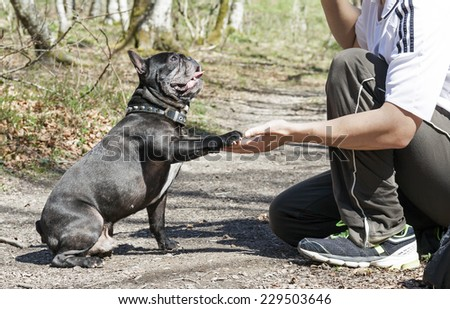 French bulldog giving a paw. - stock photo
