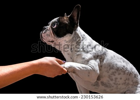 French bulldog giving a paw isolated on black background - stock photo