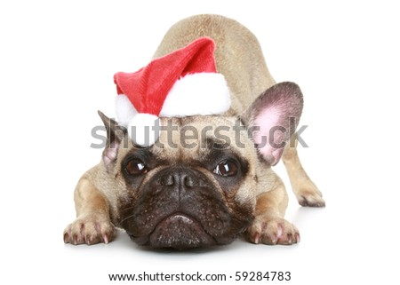 French bulldog in a Christmas hat on a white background