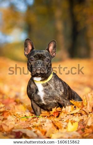 French bulldog in autumn - stock photo
