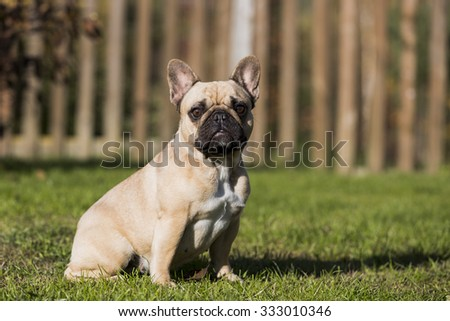 French bulldog in nature - stock photo