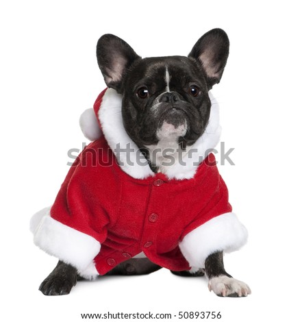French bulldog in Santa coat, 3 years old, sitting in front of white background - stock photo