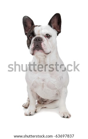 French Bulldog isolated on a white background - stock photo