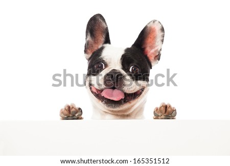 French bulldog looking over a board - stock photo