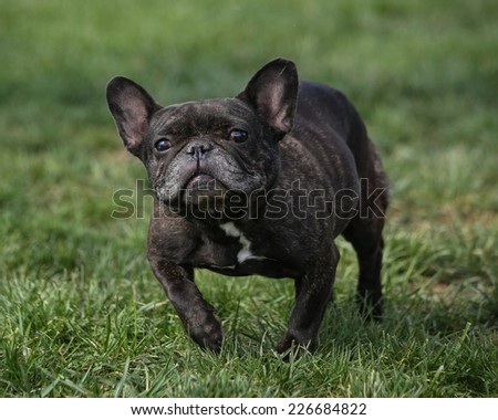 French bulldog looking silly at the park - stock photo