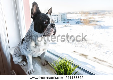 French bulldog looking through the window - stock photo