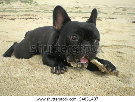 FRENCH BULLDOG LYING ON BEACH WITH STICK - stock photo