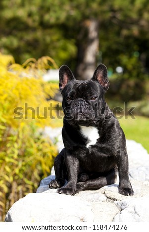 French Bulldog Male sitting on a stonewall - stock photo