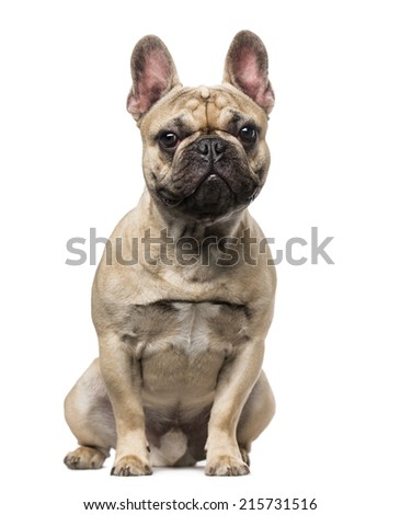French Bulldog (9 months old)