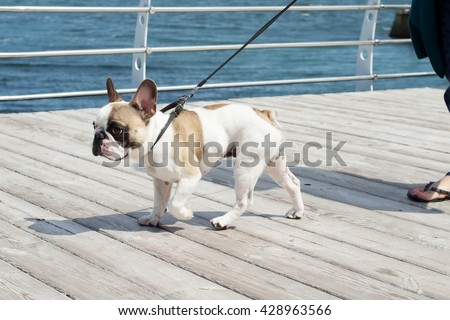 French Bulldog on a leash. Dog is walking near the sea and lead. Owner follow their dog. - stock photo