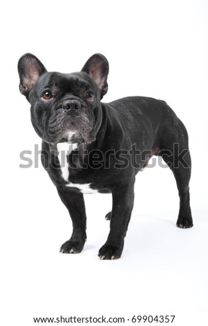French bulldog on isolated white background