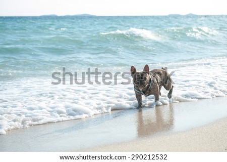 french bulldog on the beach - stock photo