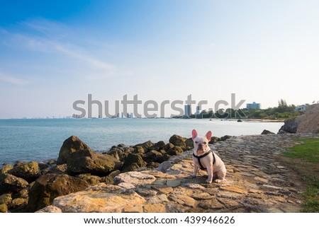 French bulldog on tour - stock photo