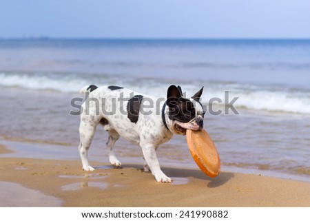 French bulldog playing on the beach at Baltic Sea - stock photo