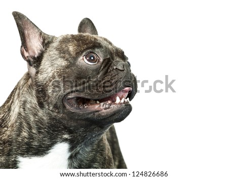 French bulldog portrait isolated on white
