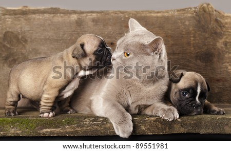 french bulldog puppy and British kitten - stock photo